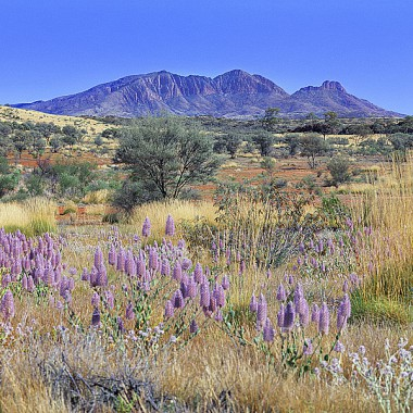Mt-Sonder-Wildflowers.jpg